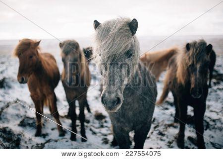 A Herd Of Free-roaming Icelandic Horses In The Wintertime Stones