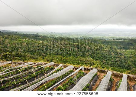 Panorama View On Agricultural Rice And Strawberry Fields On Hill. Winter Cloudy And Rainy Season. Ba