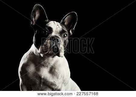 White French Bulldog On Black Background, Serious Curious Pose, Young Female Dog