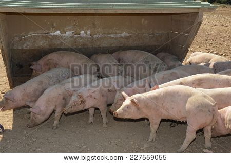 Pigs In Their Surroundings (south Of France)