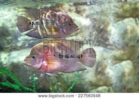 In A Large Aquarium With Sea Water Floats A Beautiful Marine Fish Blue Color Among The Seaweed. Aqua