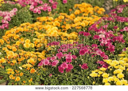 Chrysanthemum, A Lot Of Purple And Yellow Flowers In The Open Air, Selective Sharpness, Close-up