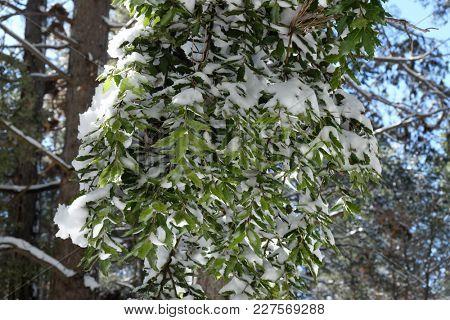 leaves of holm oak snow covered in Etna Park, Sicily