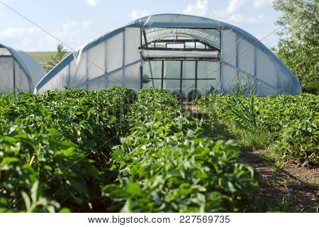 Plantation Of Green Agricultural Seedlings On The Background Of Homemade Greenhouse In The Kitchen-g