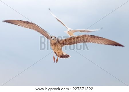 Two Big Gulls In Blue Sky Looking Around And Flying Up, Sky Landscape