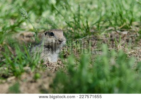 Alert Little Ground Squirrel Peeking Over The Edge Of Its Home