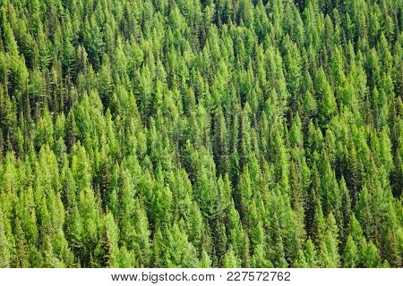 Aerial view of Larches at Taiga boreal forest in Altai Mountains of Western Mongolia