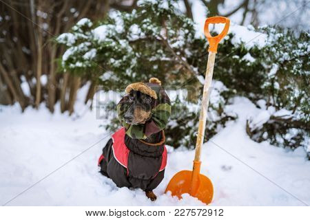 Dog Dachshund, Black And Tan, In Clothes (sweater) And Hat Removes Snow Near His House In Winter On
