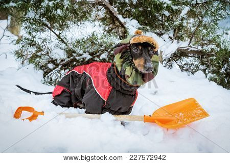 Cute Dog Dachshund, Black And Tan, Wearing Clothes (sweater) And A Hat With An Orange Shovel For Sno