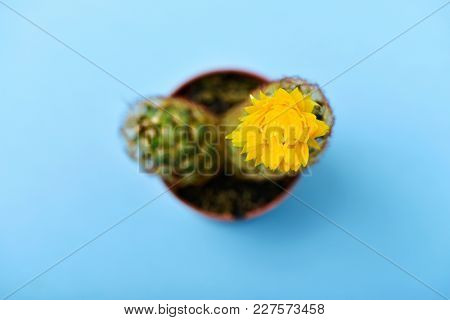 high angle view of a ladyfinger cactus, also known as gold lace cactus, with a yellow flower in a brown plant pot, on a blue background