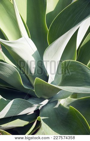 Lions Tail Agave
