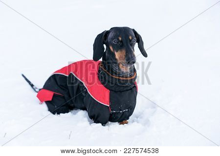 Cute Dog Of The Dachshund Breed, Black And Tan, In A Red Sweater, Walking In A Snow Park