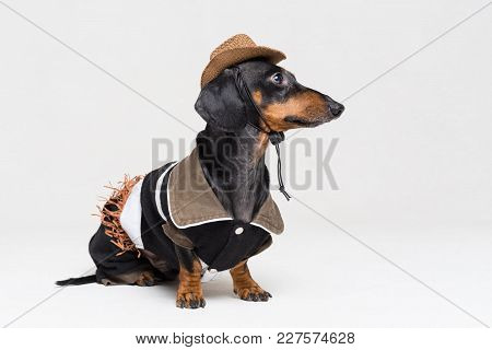 Dachshund Dog With Cowboy Costume And Western Hat Isolated On Gray Background