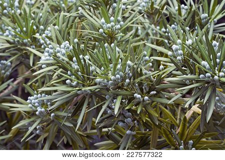 Yew Plum Pine (podocarpus Macrophyllus). Called Buddhist Pine, Yew Pine And Fern Pine Also