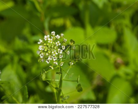 Shepherd's-purse Or Capsella Bursa-pastoris Flowers Close-up, Selective Focus, Shallow Dof