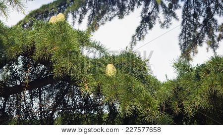 Pine Cones In Needles On A Cedar Of Lebanon Or Cedrus Lebani Close-up, Selective Focus, Shallow Dof.