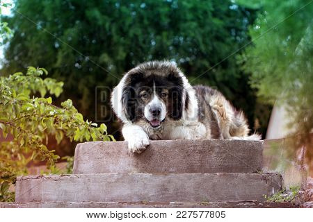 Fluffy Caucasian Shepherd Dog Is Lying On The Ground. Adult Caucasian Shepherd Dog In The Yard