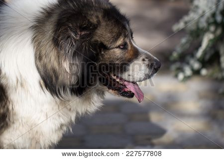 Fluffy Caucasian Shepherd Dog In The Yard. Caucasian Sheepdog At Spring Time.