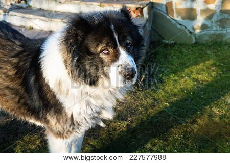 Adult Caucasian Shepherd Dog. Fluffy Caucasian Shepherd Dog In The Yard