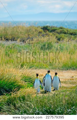 Group of King Penguins (Aptenodytes patagonicus) walks on the summer green island. Terra del Fuego, Chile