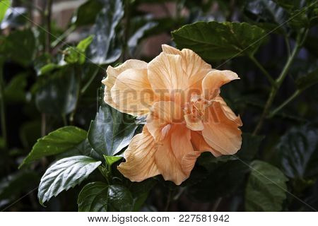 Wide Close Up Of A Fully Boomed, Vibrant Orange Cream Hibiscus, With Green Foliage. Montreal, Quebec