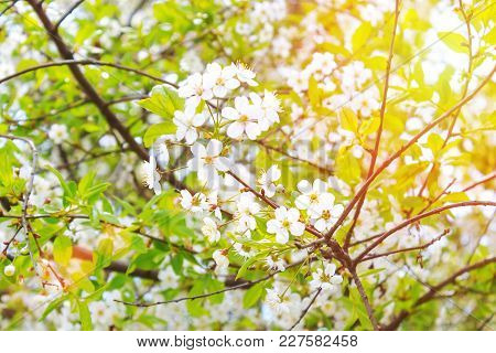 Flowers On A Cherry Or Apple Tree With Sunbeams. Toned