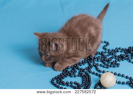 Cute Baby British Kitten With Stubby Tail Jumping And Playing On Blue Background