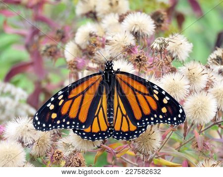 Monarch In Autumn Forest Of Thornhil, Canada, October 13, 2017