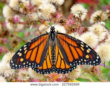 The Monarch Butterfly In Autumn Forest Of Thornhil, Canada, October 13, 2017