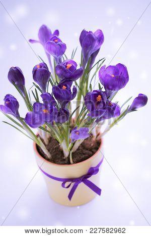 Violet Crocuses, Spring March Or Easter Postcard Concept.