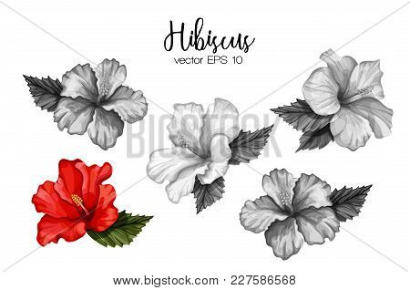 Hibiscus Flower Set Red. Monochrome Blooming Blossom With Leaves. Realistic Detailed Hand Exotic Flo