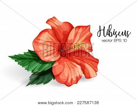 Hibiscus Flower. Red Blooming Blossom With Green Leaves. Realistic Detailed Hand Drawn Exotic Floral