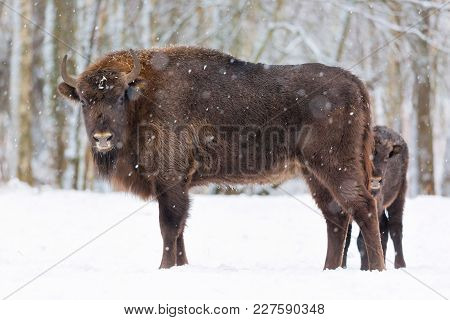 Large Brown Bisons Wisent Family Near Winter Forest With Snow. Little Bison Is Hiding Behind Her Mot