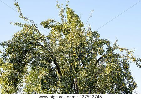 Pear Fruit On The Branches Of A Tree. Pear Tree Old