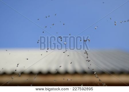 Winged Ants In The Web. Caught By A Cobweb Of Ants