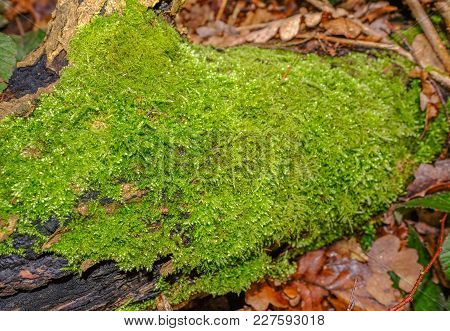 Vibrant Green Moss Growing On A Log In The Woodland Undergrowth.