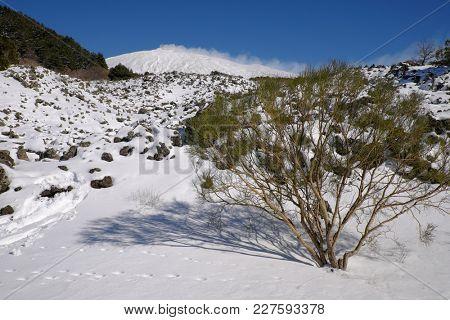 broom shrubs on the snow covered volcanic rock of Etna Park, Sicily