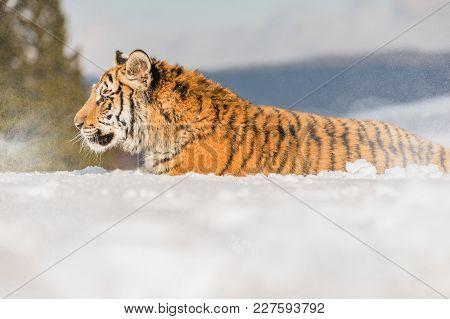 Siberian Tiger In The Winter Taiga. Siberian Tiger Lying In Snow In A Winter Taiga. Tiger In Wild Wi