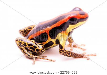 poison dart or arrow frog, Ranitomeya uakarii golden legs morph. A Dendrobates from the Amazon rain forest in Peru. This animal lives in tropical Amazon rain forest of Peru. Isolated on white