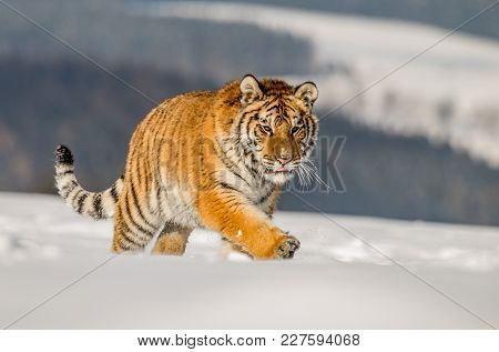Tiger Runs Behind The Prey. Hunt The Prey In Tajga In Cold Winter. Tiger In Wild Winter Nature. Acti
