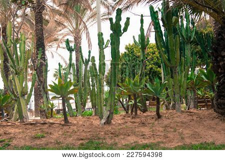 Huge Cacti Growing In The City Park