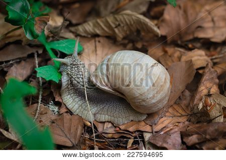 Grape Snail Feeding Up With Green Leaf In Undergrowth Forest