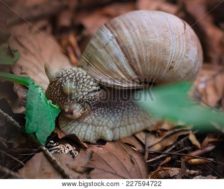 Snail Gastropoda Feeds Up With Green Leaf In Undergrowth Forest