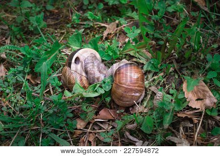 Couple Grape Snails Gastropoda Copulate In Undergrowth Forest Close-up