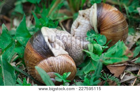 Two Grape Snails Gastropoda Copulation In Undergrowth Forest Close-up