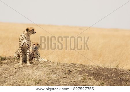 A pair of young adult cheetahs on the lookout in the open grass plains of the Masai Mara, Kenya