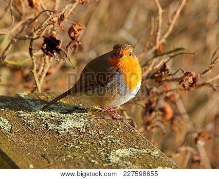 Robin From The Forfar Lake. Forfar, Scotland - January 31, 2018 A Beautiful Robin At A Vantage Point