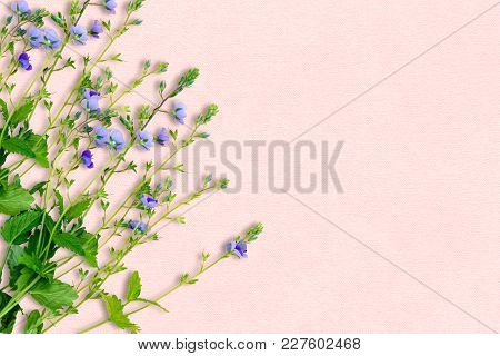 Spring Background With Small Purple Flowers. The Name Of The Flower Is Veronica Chamaedrys. Soft Pin