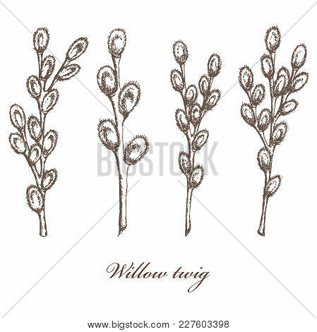 Vector Illustration Of Sketched Pussy Willow Branches A Set Of 4 Hand Drawn Twigs Isolated On White