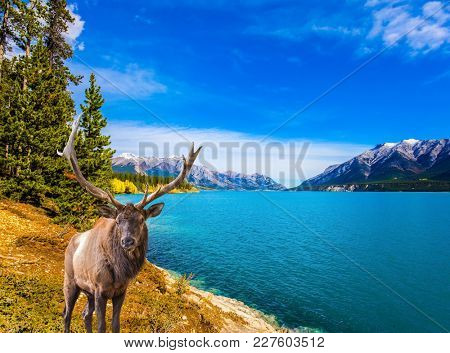 Indian Summer in the Rockies of Canada. Brave fantastic magnificent deer on the bank of Lake Abraham. Concept of ecological and active tourism